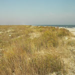Steppe Runner (Eremias arguta) habitat.