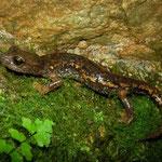 Ambrosi's Cave Salamander (Speleomantes ambrosii)