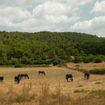 Typische zwarte Menorcaanse paarden.