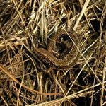 Levendbarende hagedis (Zootoca vivipara)