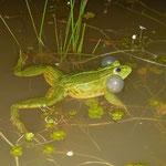 Groene kikker (Pelophylax spec.) roepend