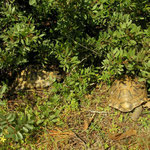 Spur-thighed Tortoises (Testudo graeca) basking along the edge of shrubs.