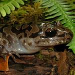 Pacific Giant Salamander (Dicamptodon tenebrosus)
