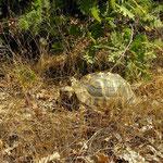 Griekse landschildpad (Testudo hermanni) etend
