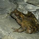 Italian Stream Frog (Rana italica), Liguria, Italy, July 2010