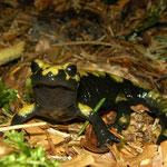 Alpine Salamander (Salamandra atra aurorae)