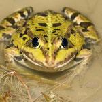Marsh Frog (Pelophylax ridibundus) © Laura Tiemann