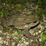 Common Toad (Bufo bufo)