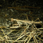 Mantis (Rivetina baetica)