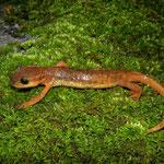 Yehudah's salamander (Lyciasalamandra yehudahi)