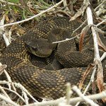 Northern Pacific Rattlesnake (Crotalus oreganus)