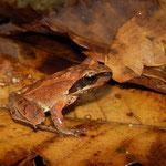 Tago's Brown Frog (Rana tagoi) juvenile