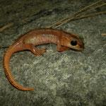 Bille's Salamander (Lyciasalamandra billae) juvenile