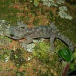 European Leaf-toed Gecko (Euleptes europaea) juvenile