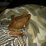 gladiator treefrog (Hypsiboas boans)