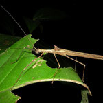 Stick insect (Pseudophasma spec.)