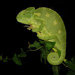 Mediterranean Chameleon (Chamaeleo chamaeleon recticrista)