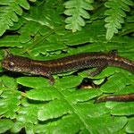 Western Redback Salamander (Plethodon vehiculum)
