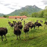Curious ostriches in the Alps.
