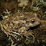 Common Midwife Toad (Alytes obstetricans), Asturias, Spain, April 2012