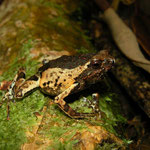 painted forest toadlet (Engystomops petersi)