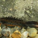 Danube Crested Newt (Triturus dobrogicus) male