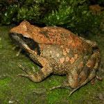 Italian Frog (Rana italica)