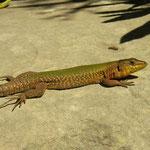 Maltese Wall Lizard (Podarcis filfolensis) male
