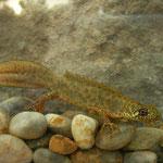 Balkan Crested newt (Triturus ivanbureschi) typical male