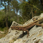 Oertzen's Rock Lizard (Anatololacerta oertzeni)