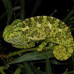 Second adult Mediterranean Chameleon (Chamaeleo chamaeleon)