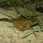 Levant Water Frog (Pelophylax bedriagae) froglet