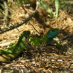 Eastern green lizard couple sitting in the shade.