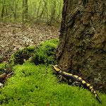 Vuursalamander (Salamandra salamandra) in habitat