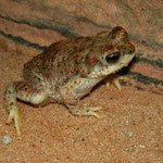 Red-spotted Toad (Anaxyrus punctatus)