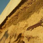 Brilhagedis (Scelarcis perspicillata) juveniel aan het zonnen.