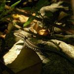 Anatolian Rock Lizard (Anatololacerta anatolica) subadult