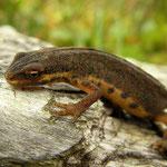 Kleine watersalamander (Lissotriton vulgaris)