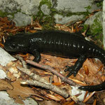 Alpine Salamander (Salamandra atra prenjensis), Southern Slovenia, August 2014