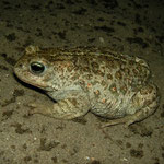 Natterjack Toad (Epidalea calamita), Heemstede, the Netherlands, June 2015