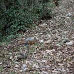 Caucasian squirrel (Sciurus anomalus) © Laura Tiemann