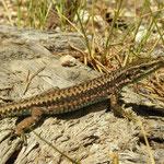 Carpetane Rock Lizard (Iberolacerta cyreni)