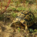 Moorse landschildpad (Testudo graeca nabeulensis)