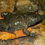 Fire-bellied Toad (Bombina bombina) adult