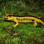 Vuursalamander (Salamandra salamandra bernardezi)