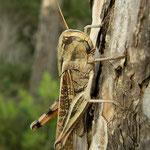 Treksprinkhaan (Locusta migratoria)