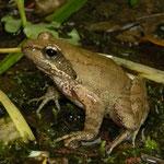 Italian Stream Frog (Rana italica), Calabria, Italy, April 2014