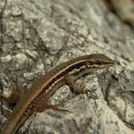 Snake-eyed Lizard (Ophisops elegans basoglui)