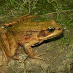 Northern Red-legged Frog (Rana aurora)