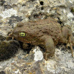 Natterjack Toad (Epidalea calamita) with bright eyes, Asturias, Spain, April 2012